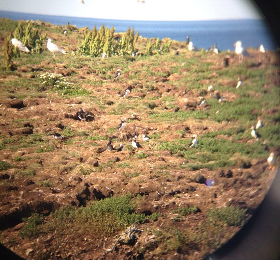 Puffins and Seagulls in Maberly, NL
