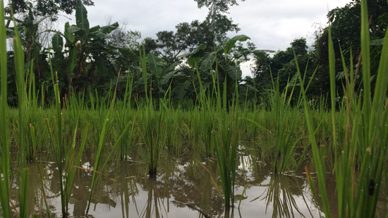 Image contains a photo of a rice field with green stalks of rice visible in the foreground and large trees in the background.