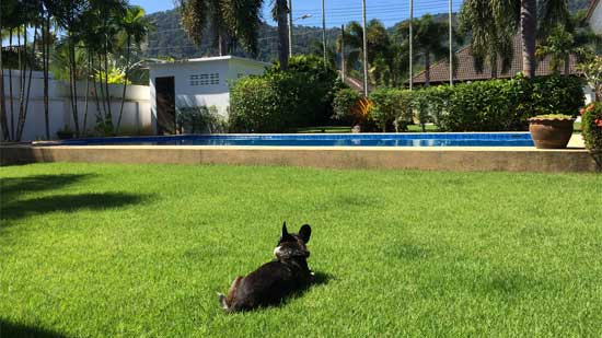 Image contains a photo of a small black dog facing away from the camera on a green lawn. In the background, the blue water of a pool is visible before a number of trees and a small white pool building. Above this, there are blue clouds.