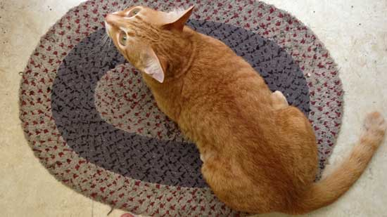 Image contains a photo of a mainly orange cat sitting on a multi-coloured mat while looking up at the camera.